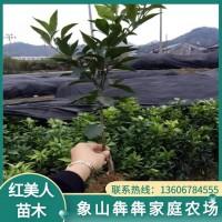 柑橘苗批发价格 柑橘苗批发报价 柑桔小苗 红美人柑橘苗基地