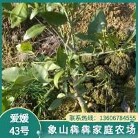 象山柑橘苗 爱媛43号柑橘苗 新品种无核沃柑苗