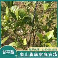 甘平苗 2年生柑橘 苗木种植 甘平树苗 柑橘新品种