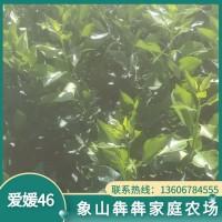 象山红美人爱媛46柑橘苗 果冻橙爱媛 批发销售