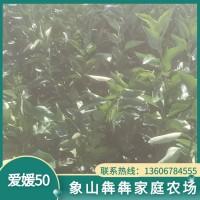 正宗象山爱媛50号柑桔 象山优良柑橘苗木