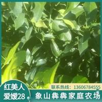 红美人柑橘苗 爱媛28 正宗象山红美人树苗基地